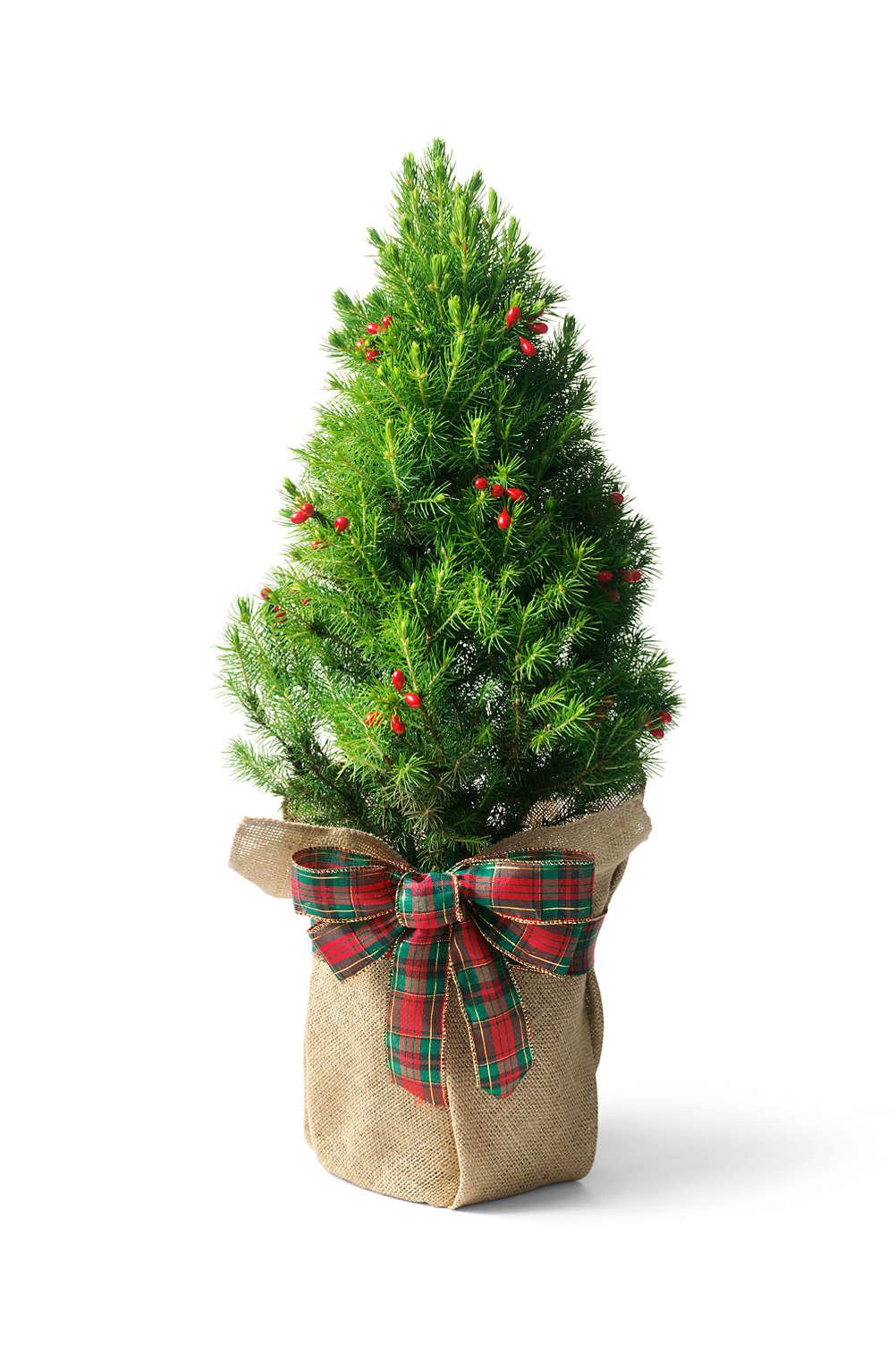 dwarf alberta spruce mini christmas tree from lands end - Mini Real Christmas Tree